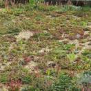 Bloemenmengsel Bodembedekkende bloemen - 250 gr