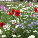 Bloemenmengsel Akkerbloemen - kg