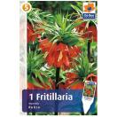 Bloembollen Fritillaria Imperialis Rubra