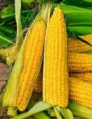 Groenvoeder Hybride Mais 500g