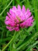 Groenvoeder Violet Klaver 500 gr