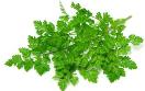 Kervelplant 10,5 cm pot