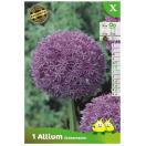 Bloembollen Allium Globemaster
