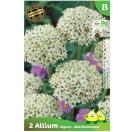Bloembollen Allium Nigrum - Multibulbosum