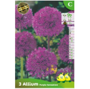Bloembollen Allium Purple Sensation C